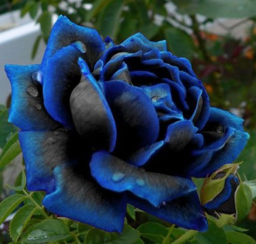 Rare midnight blue rose flower seeds garden plant other for Do black roses grow naturally