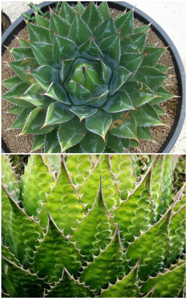 how to grow succulents from seeds uk