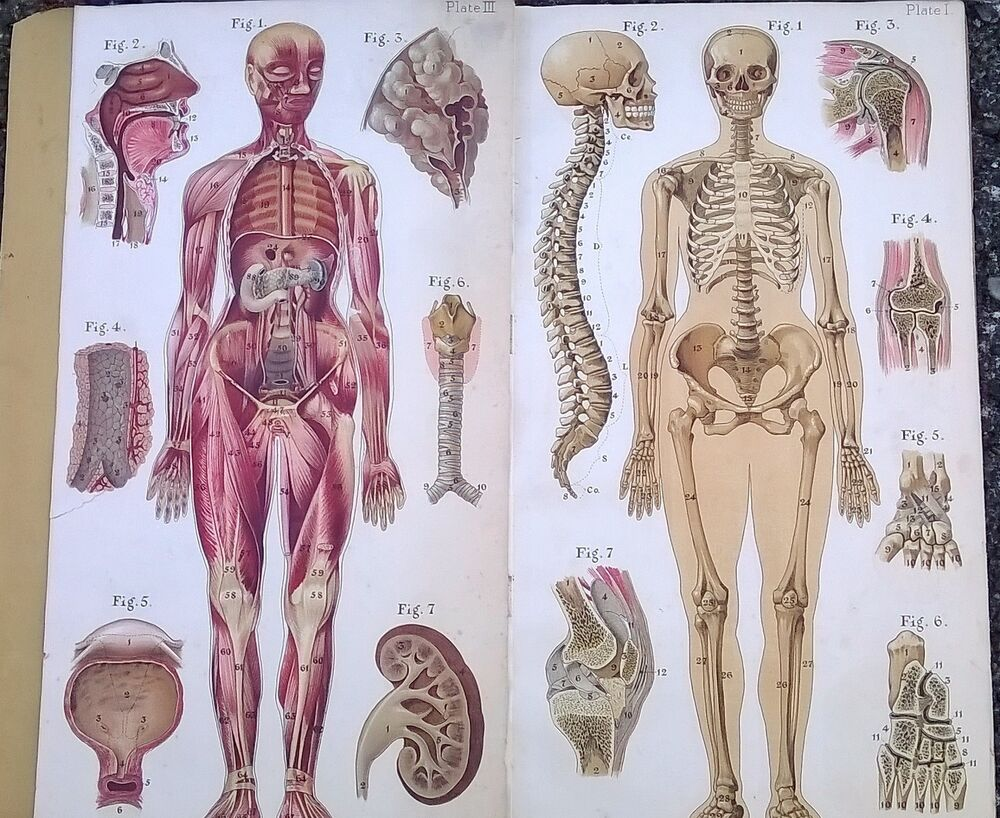 Old Medical Anatomy Book Color Plates Baillieres Atlas Female Body ...