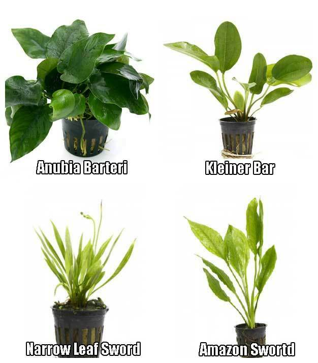 Potted Live Aquarium Plants Bundle - Anubias, Amazon Sword, Kleiner ...