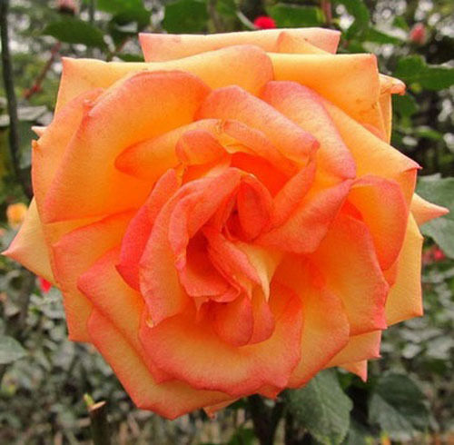 how to get seeds from roses plants