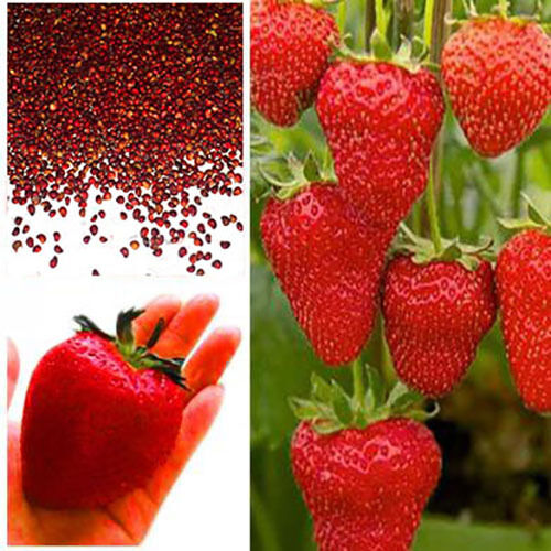 Giant Strawberry Seeds, Garden Fruit Plant, Sweet And Delicious - UK Stock