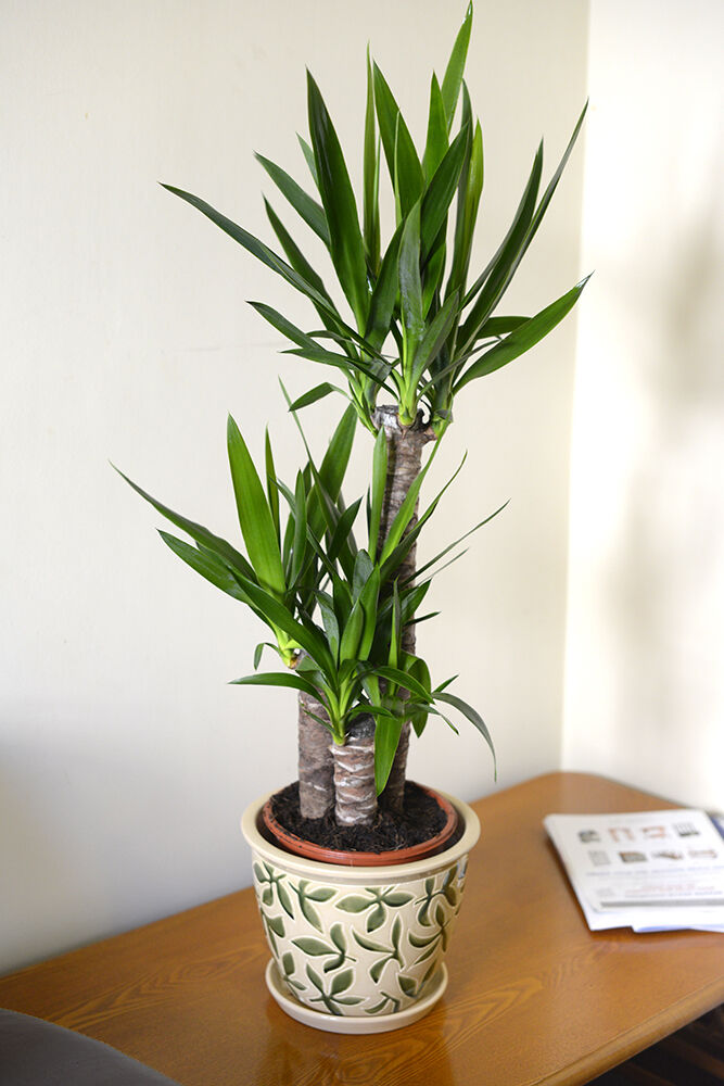 Plante Bambou Interieur Of House Or Office Plant Yucca Elephantipes Spineless