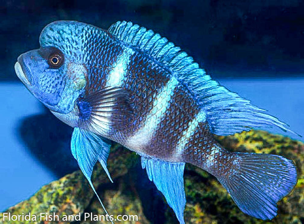 Image gallery male frontosa for Cichlid fish for sale