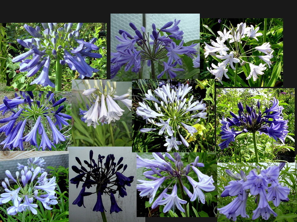agapanthus schmucklilie 6er sortiment mit aussaatanleitung ebay. Black Bedroom Furniture Sets. Home Design Ideas