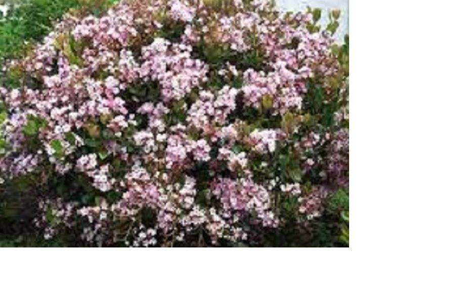 Pink Flowering Bushes And Shrubs