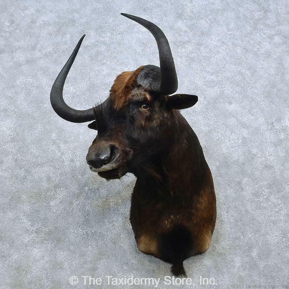 #15038 P | African Black Wildebeest Taxidermy Shoulder ...