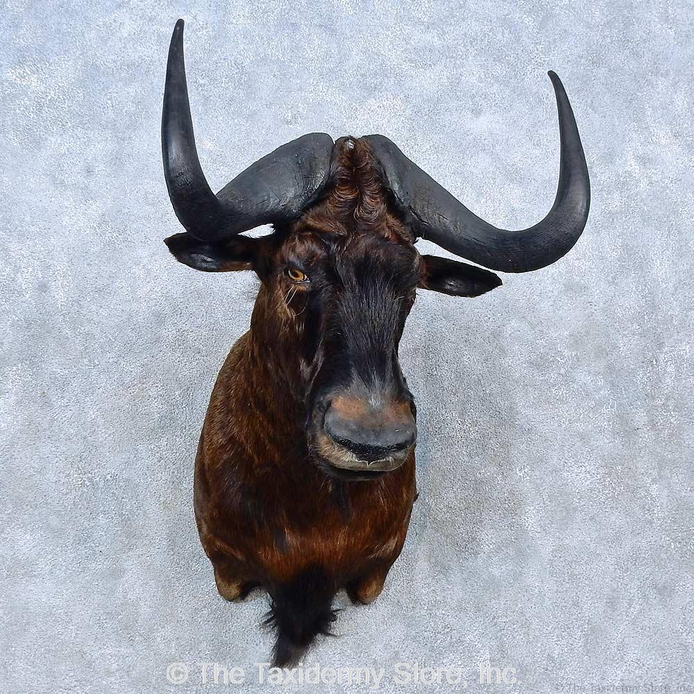 #15292 E | African Black Wildebeest Taxidermy Shoulder ...