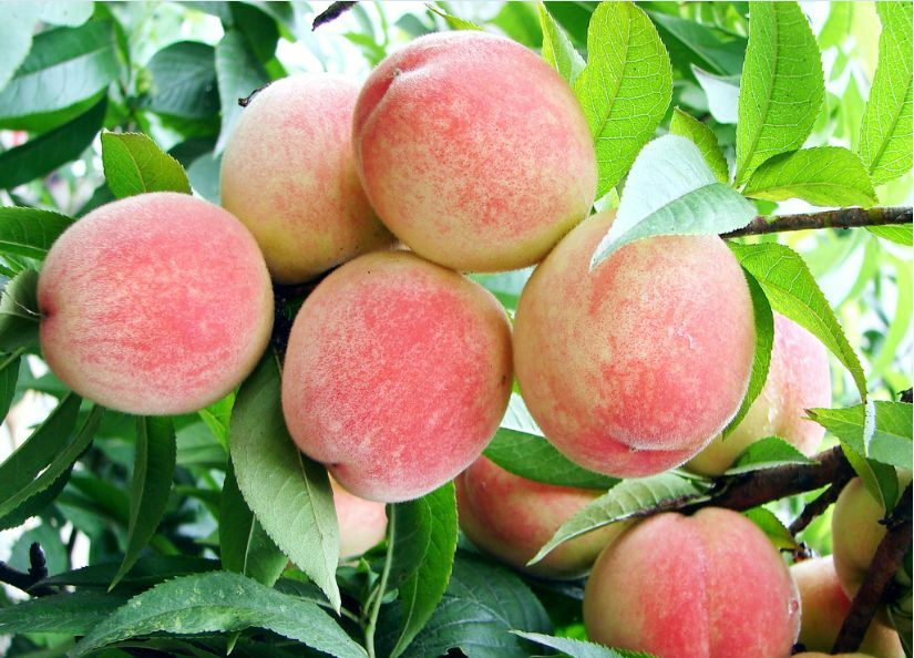 4 Peach Tree Seeds Sweet Peaches Peach Heirloom Organic ...