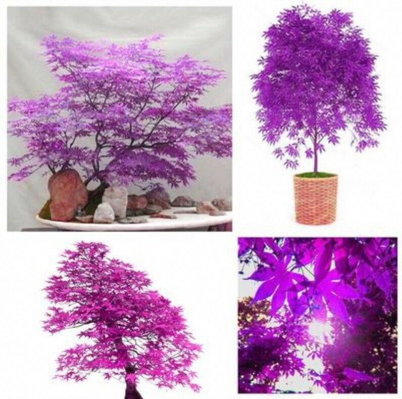 Backyard Bonsai Trees : Purple Ghost Japanese Maple Tree Bonsai Garden Seeds (Acer Palatum