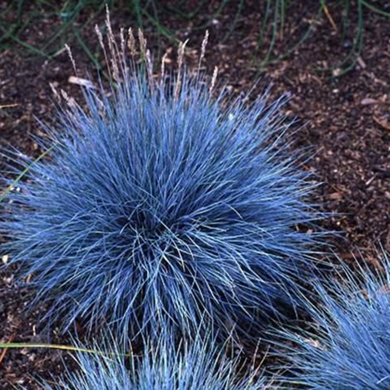 100pcs ornamental grass seeds blue fescue beautiful for Small blue ornamental grass