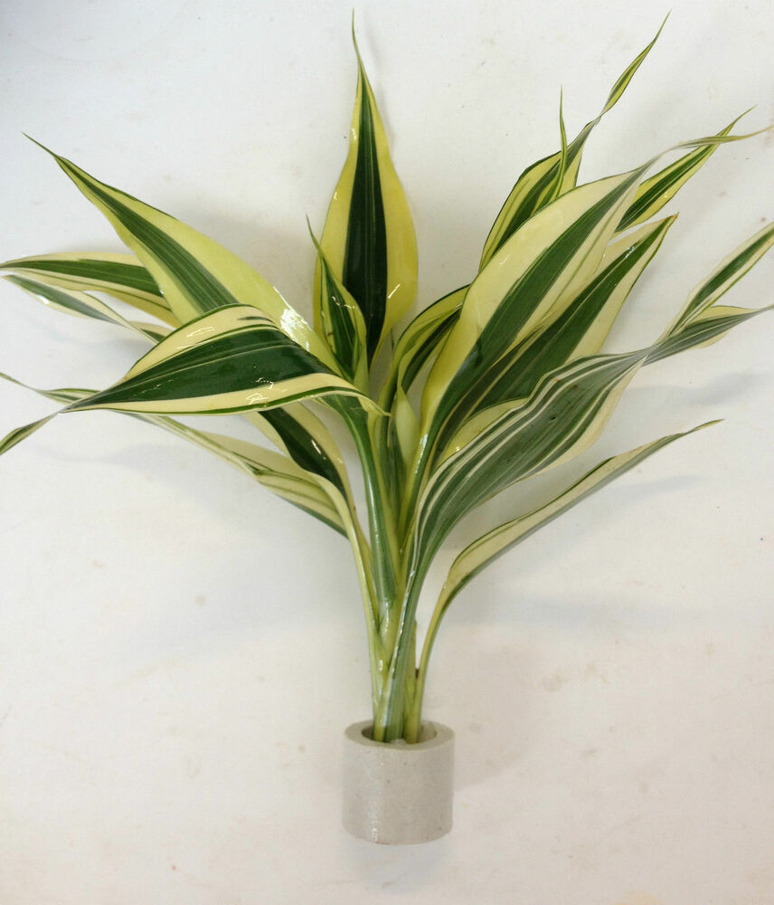 2 stems dracaena variegatus rare lucky bamboo live feng shui plant buy2get1free ebay. Black Bedroom Furniture Sets. Home Design Ideas