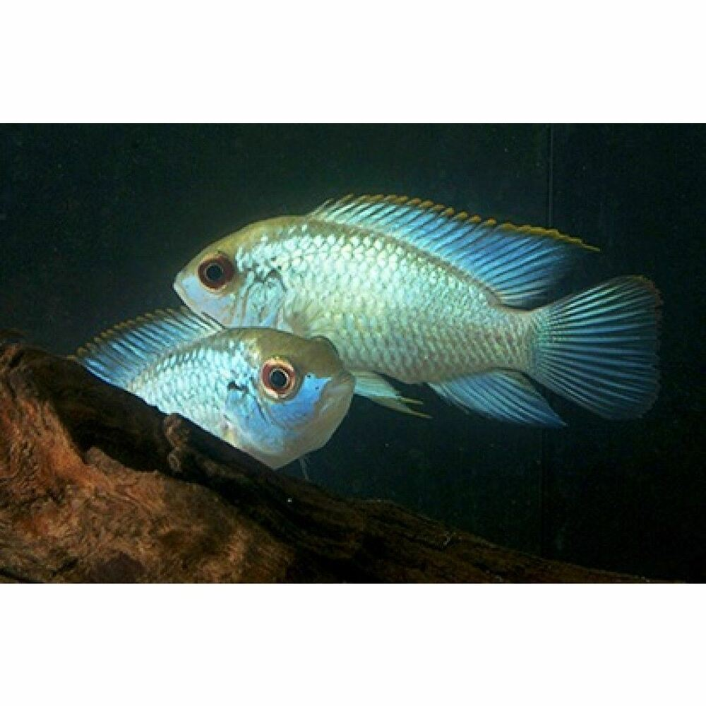 Electric blue acara aequidens pulcher 1 5 inch live fish for Ebay live fish