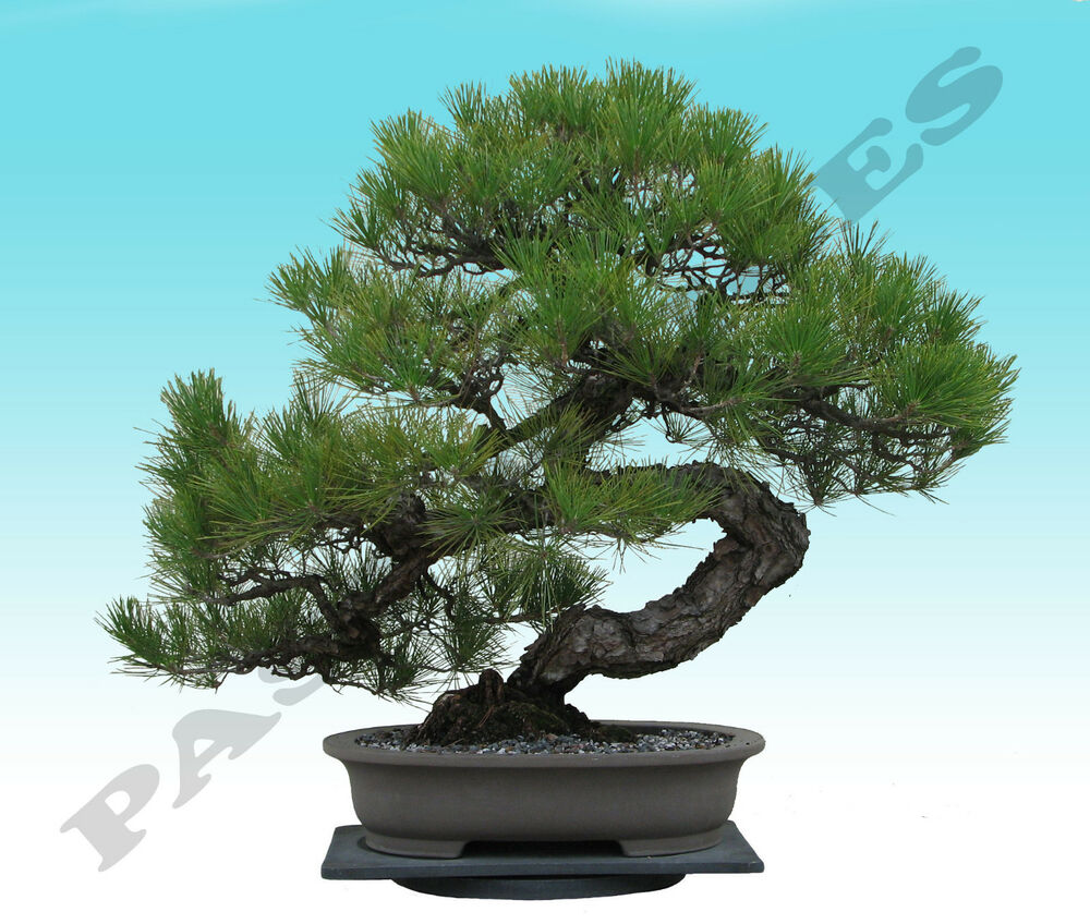 japanisch schwarz kiefer baum bonsai garten samen pinus. Black Bedroom Furniture Sets. Home Design Ideas