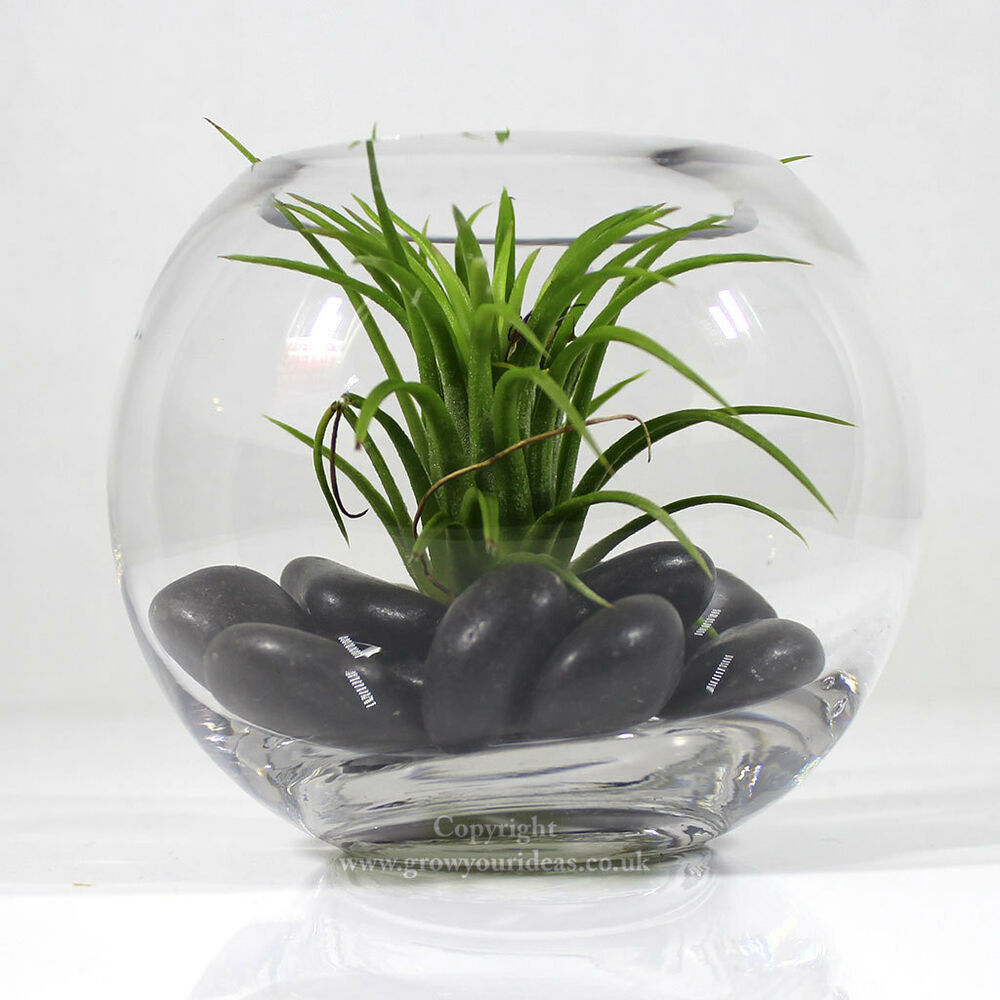 Air Plant In Small Glass Bowl Terrarium With Black Polished River