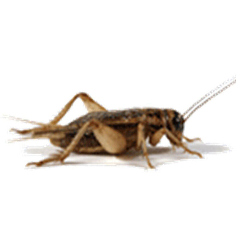 Live crickets choose sm med lrg sizes grown by for Fishing with crickets