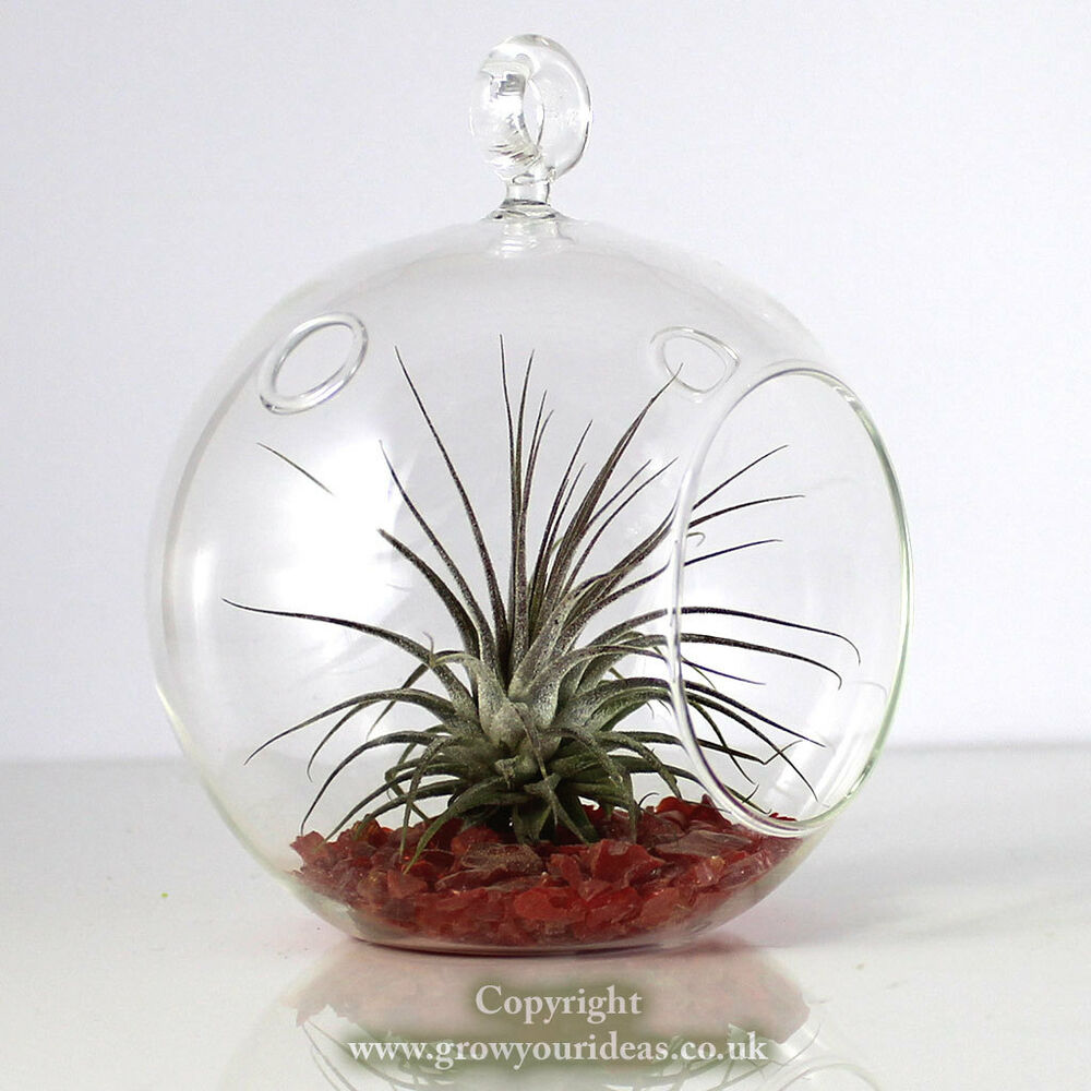 Air Plant Kit In Hanging Glass Terrarium With Red Coloured Crushed