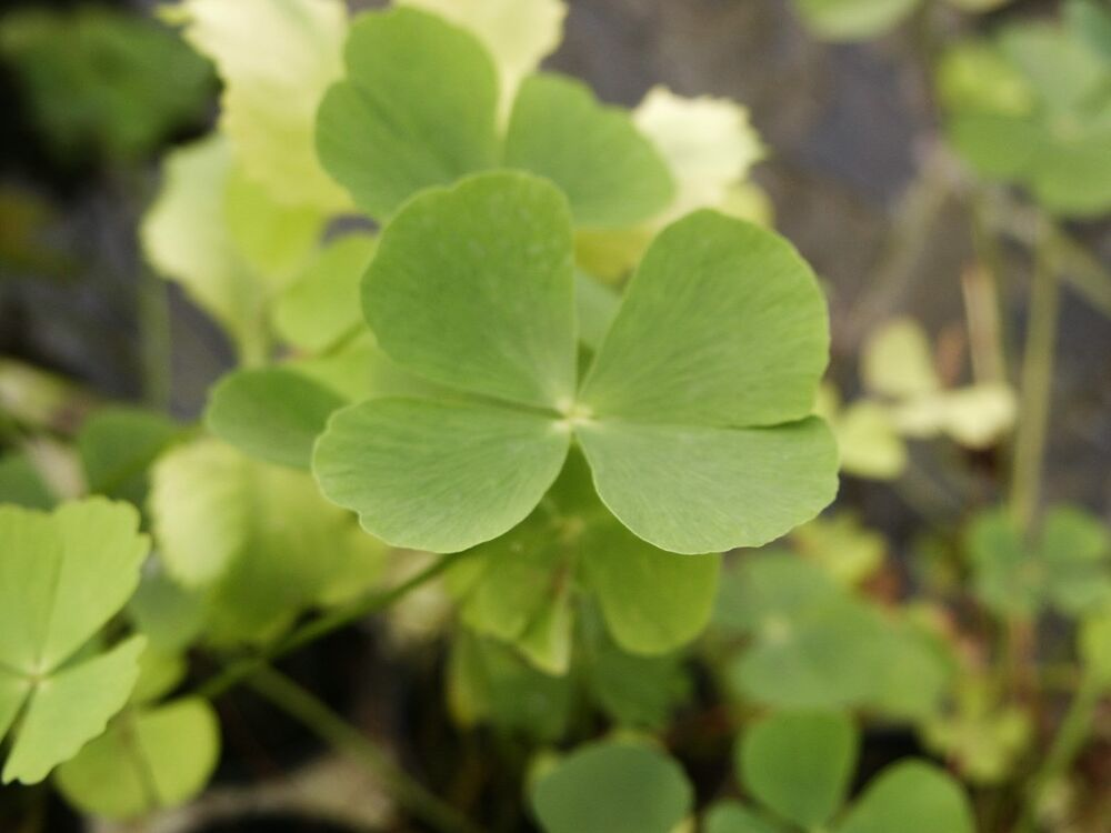 how to get rid of four leaf clovers in grass