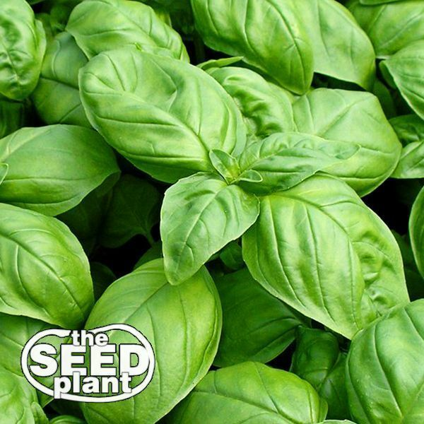 Large Leaf Italian Basil Seeds - 500 SEEDS-SAME DAY SHIPPING