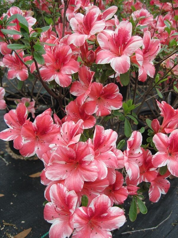 Azalea Dogwood Spring Flowering Plant Shrub Ten Plants