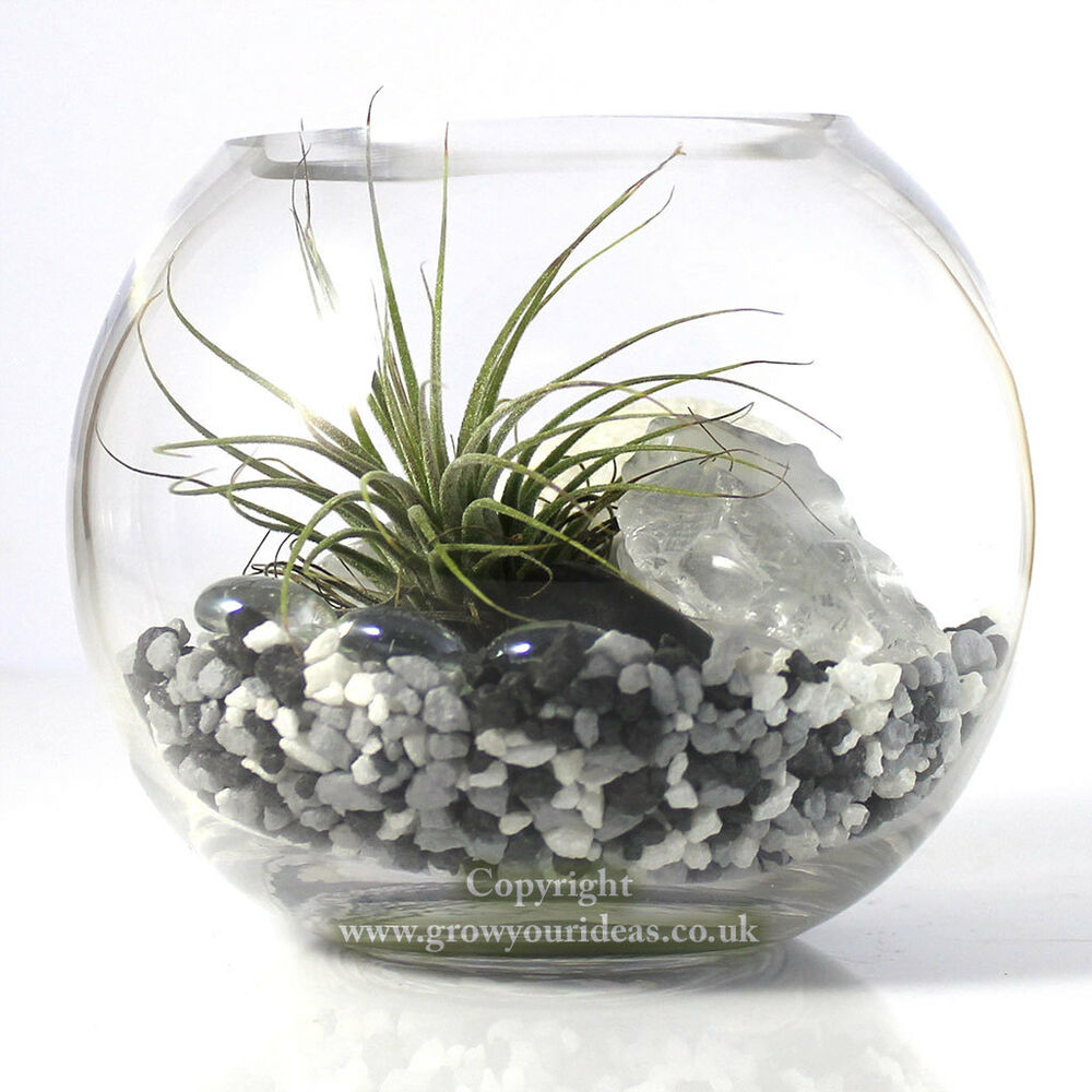 Air Plant Kit In Glass Terrarium With Black And White Theme Kit1