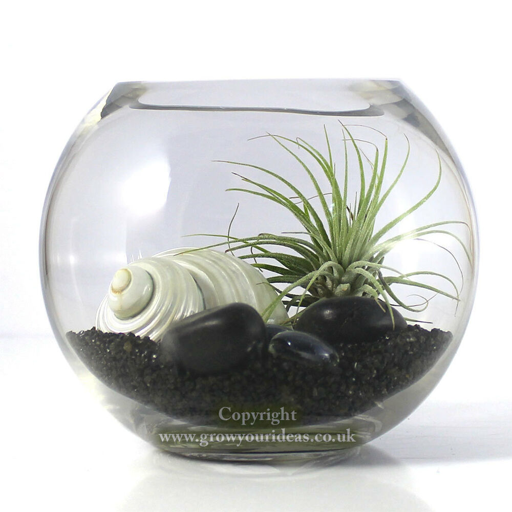 Air Plant Kit In Glass Terrarium With Black And White Theme Kit2