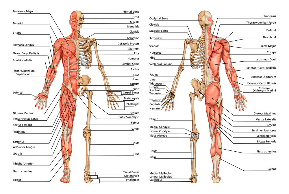 A2 Human Anatomy Body Bones An Excellent Detailed Poster Print