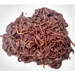 Kyпить 250 Red Wiggler Compost Worms - 1/4 Pound на еВаy.соm