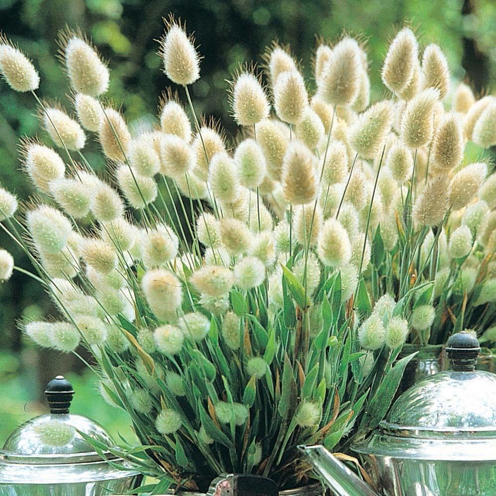 Ornamental grass seeds bunny tails drought tolerant for Easy to grow ornamental grasses