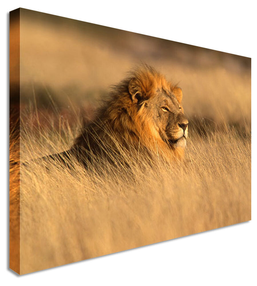 large wall art canvas lion waiting pictures for home interiors ebay. Black Bedroom Furniture Sets. Home Design Ideas
