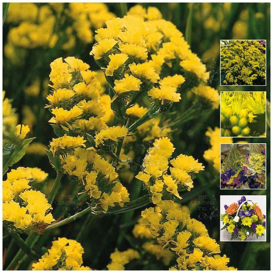 Statice Majestic Double Yellow Seeds Cut Flower Variety Free