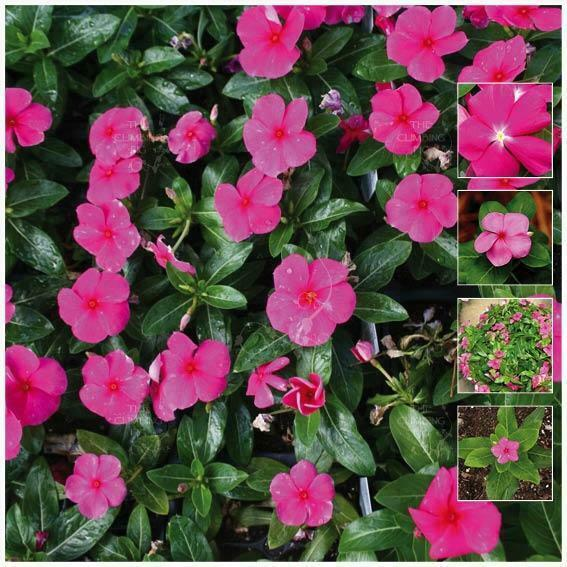 Vinca Bright Pink Seeds Large Flowers Madagascar Periwinkle