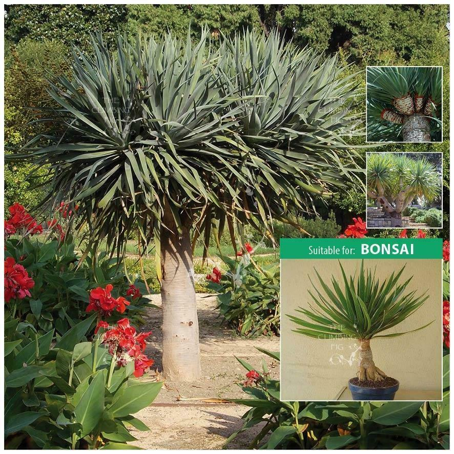 Details About Dracaena Draco Dragon Tree Seeds Spectacular Architectural Plant Can Bonsai