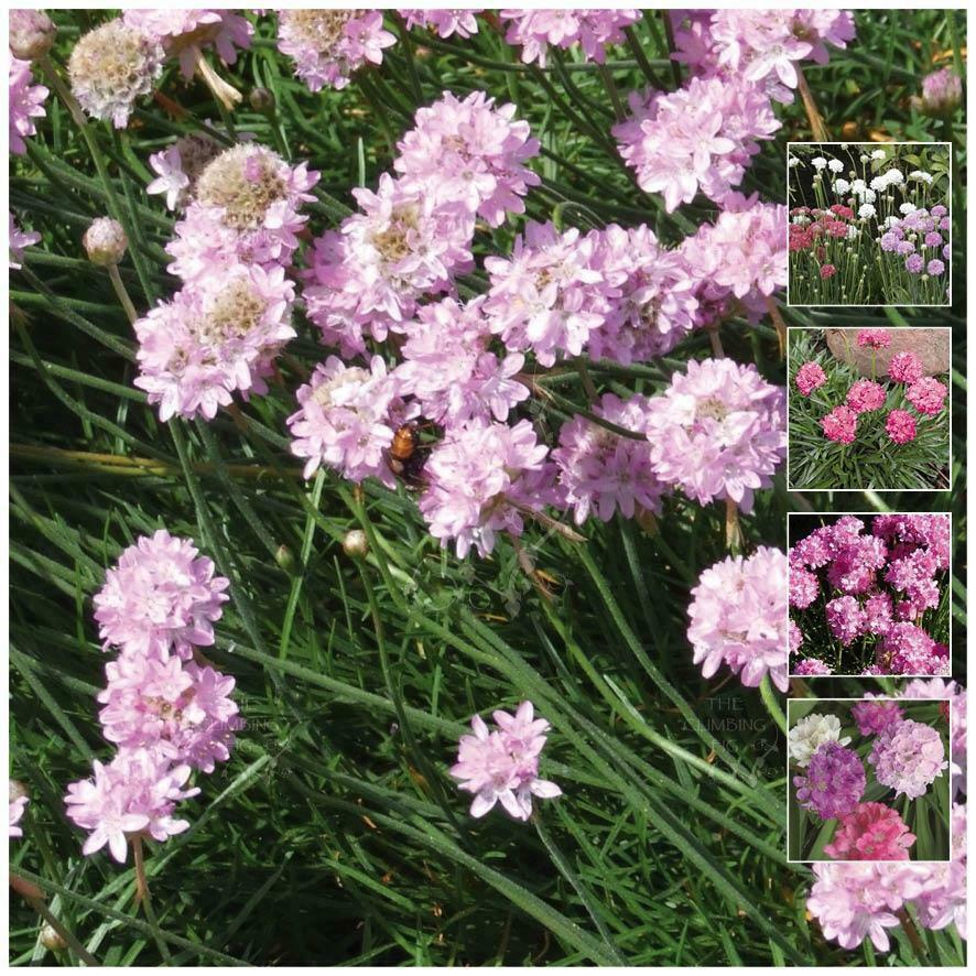 Armeria Pseudarmeria Mg Mix Seeds Agapanthus Like Heavy