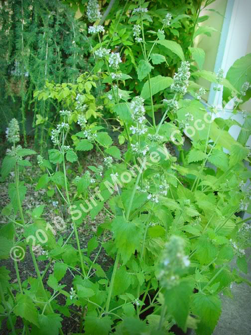 killer catnip seeds with free instruction card boss pacific nw giant plant ebay. Black Bedroom Furniture Sets. Home Design Ideas