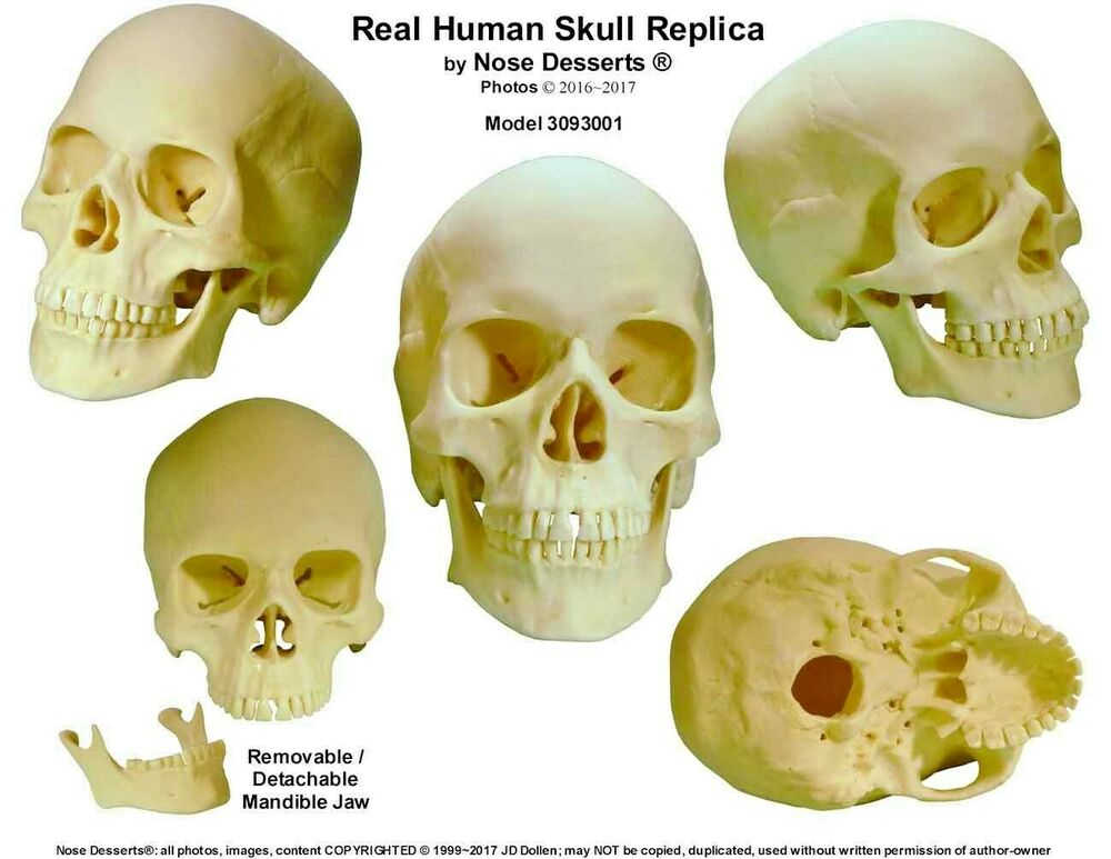 human anatomy skull: life size replica skull #3093001: high, Skeleton