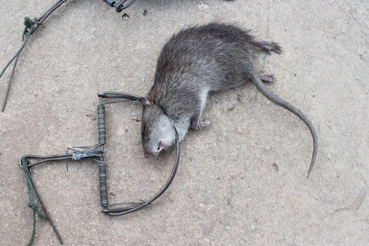 1 X Traps Mouse Rat Hunting Strong Snap Catch Trap