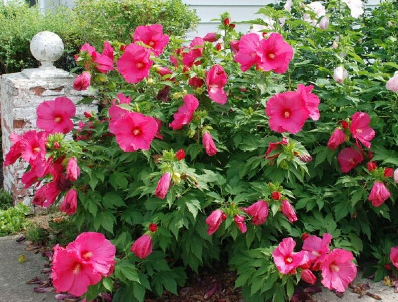 Hardy hibiscus seeds jazzberry jam winter hardy for Hardy flowering trees