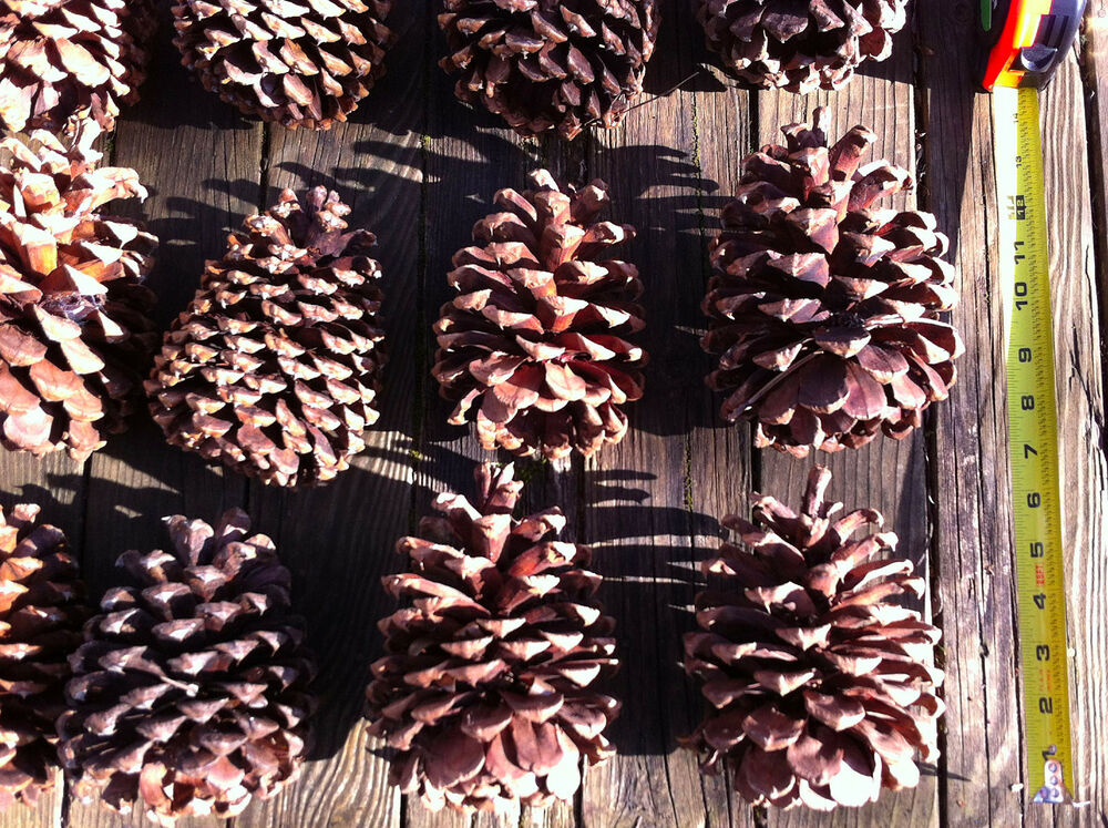 Extra large pine cone for art crafts and home decor ebay for Pine cone art projects
