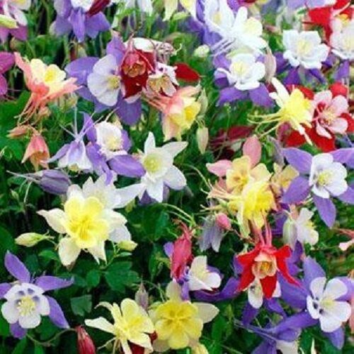 Columbine Floral And Gifts: Columbine Aquilegia Caerulea Mix 100 Seeds Garden Seeds 2u