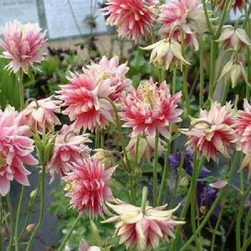 Columbine Floral And Gifts: Columbine Aquilegia Vulgaris Nora Barlow Pink 50 Seeds
