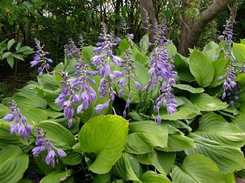 "HOSTA ""Sum And Substance"" ~Shade Loving"