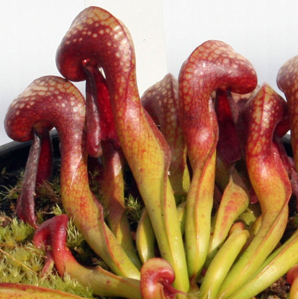darlington californica Darlingtonia californica is one of many carnivorous plants native to the west coast if you think that darlingtonia grows mostly in the cool coastal regions.