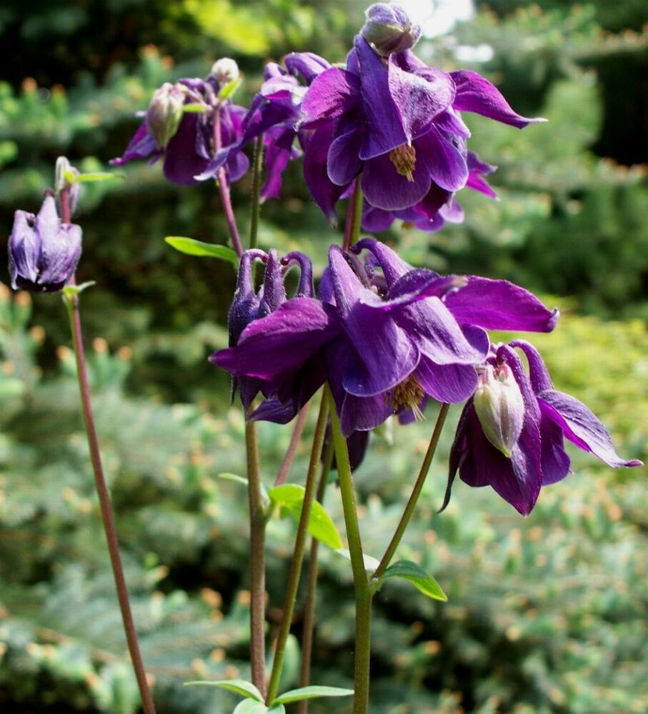 "Columbine Floral And Gifts: Bulgarian COLUMBINE ~Purple/almost Black~ ""Aguilegia"