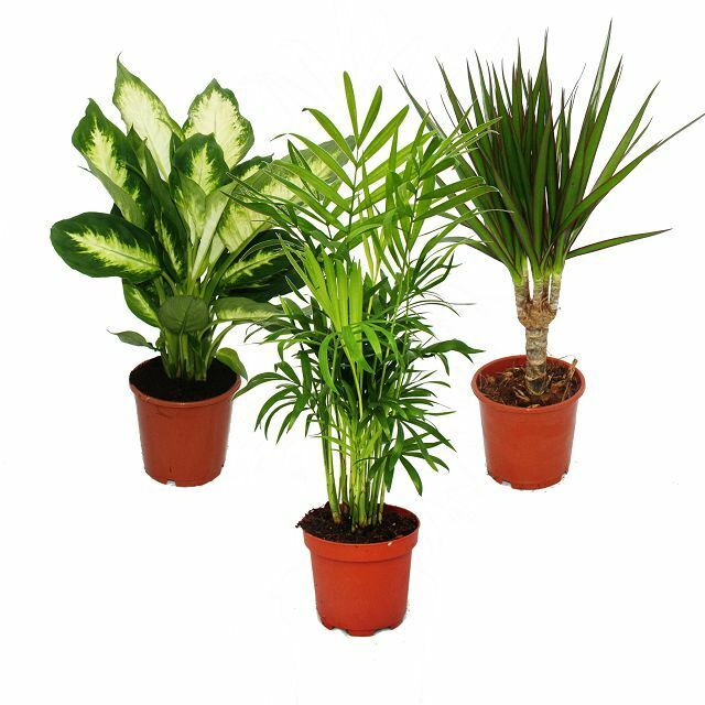 zimmerpflanzen mix ii 3er set 1x dieffenbachia 1x chamaedorea 1x dracena ebay. Black Bedroom Furniture Sets. Home Design Ideas