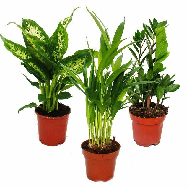 zimmerpflanzen mix i 3er set 1x dieffenbachia 1x areca. Black Bedroom Furniture Sets. Home Design Ideas