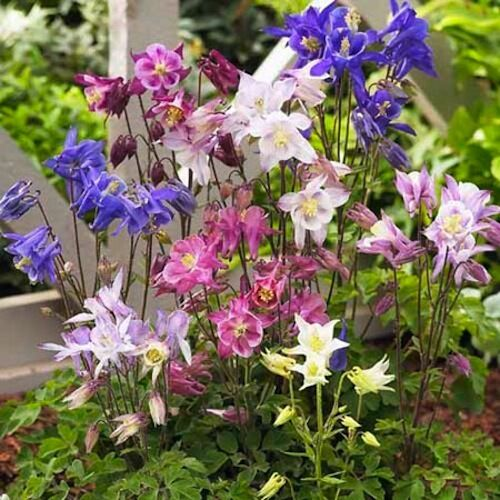 "Columbine Floral And Gifts: COLUMBINE ~Swan Mixture~ Aquilegia Granny's Bunnet"" 25"