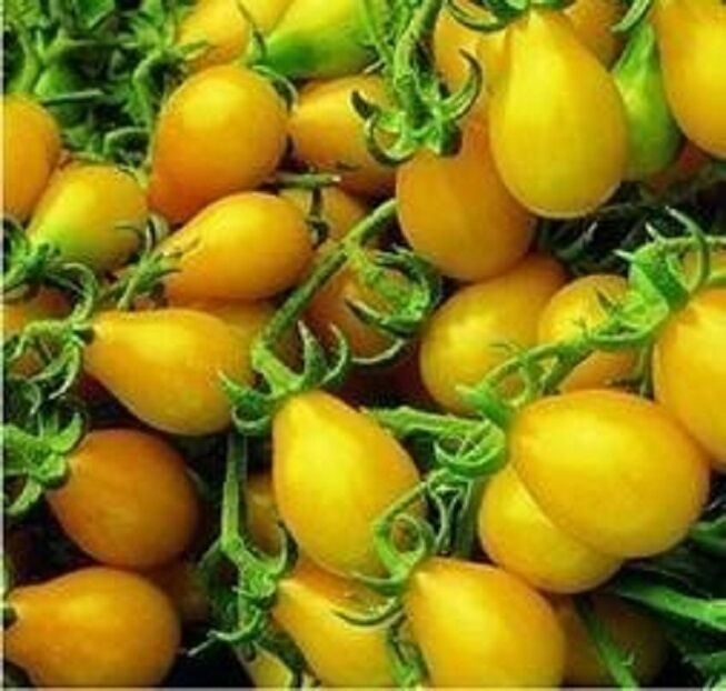 Heirloom YELLOW PEAR Tomato 200 SEEDS Clusters of Small ...