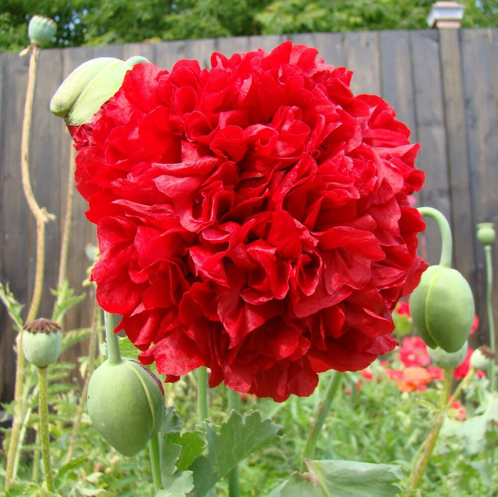 Double Peony Poppy Red Papaver Somniferum  Seeds Annual Ebay