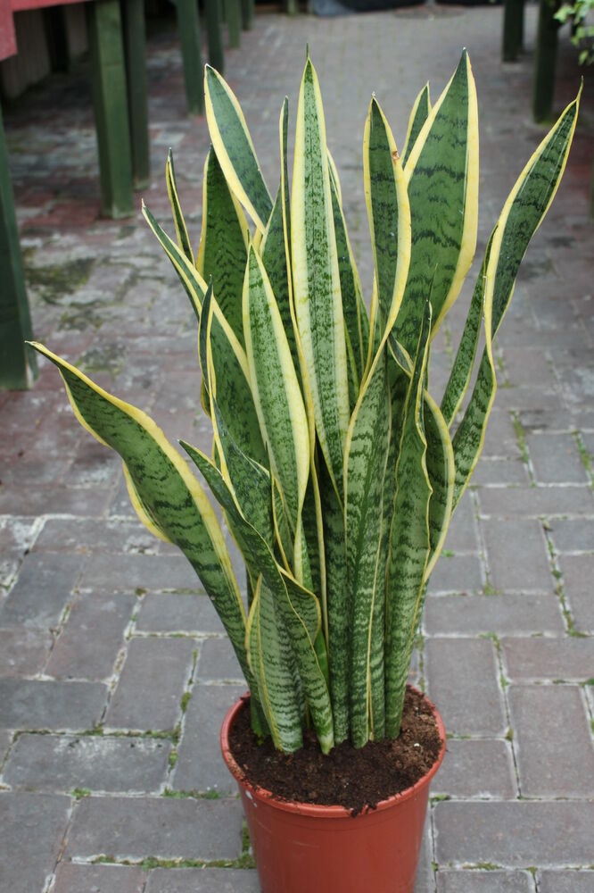 house or office plant sansevaria mother in laws tongue 50cm ebay